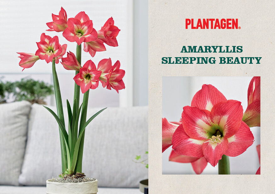 Amaryllis 'Sleeping Beauty', Punainen