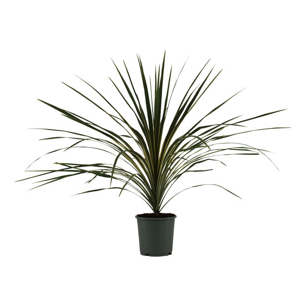 Viherliljapuu 'Variegata', Ø17 cm, Monivärinen