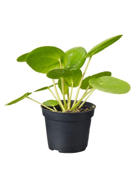 Kilpipiilea, Korkeus 8 cm, Vihreä