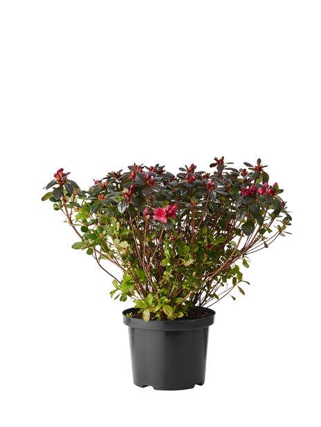 Japaninatsalea 'Johanna', Korkeus 35 cm, Punainen