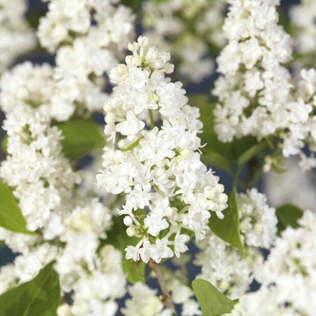 Pihasyreeni 'Alba', Korkeus 40 cm, Valkoinen