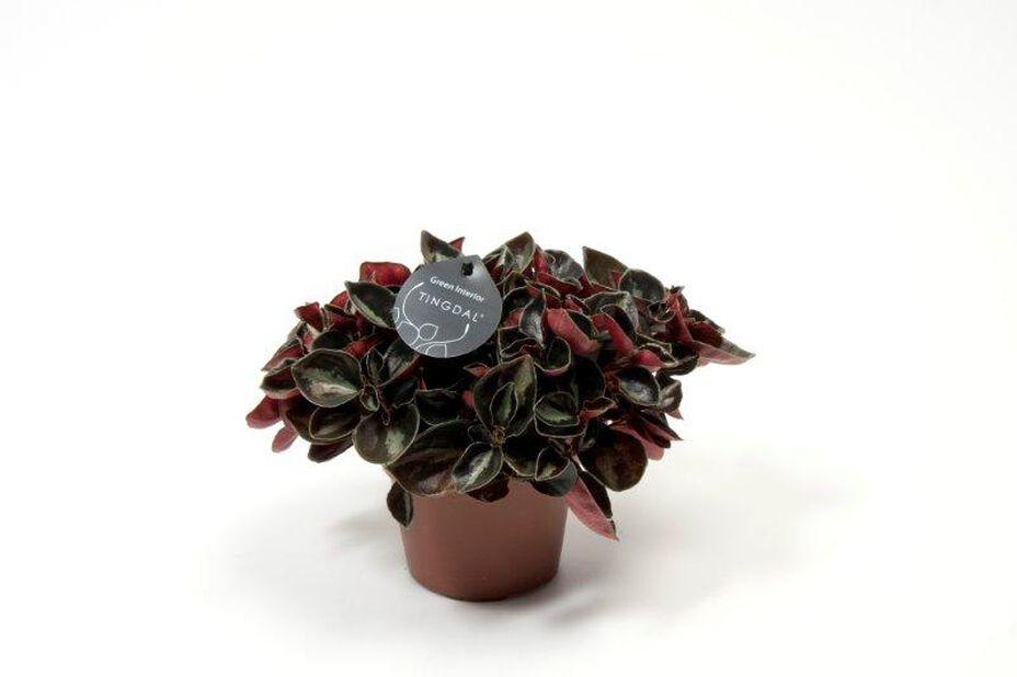 Muorinkukka 'Columbiana' 10,5 cm