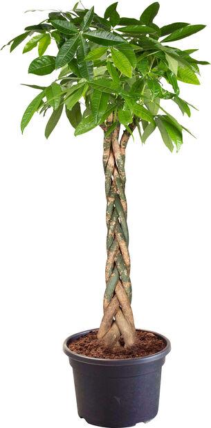Kastanjasutipuu, Korkeus 220 cm, Vihreä