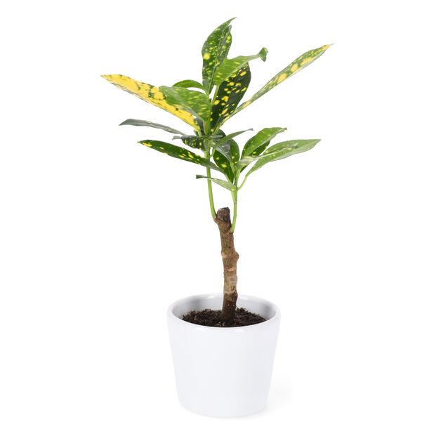 Söt liten kroton med dekorativt gulgrönt bladverk!D31, Korkeus 10 cm, Vihreä