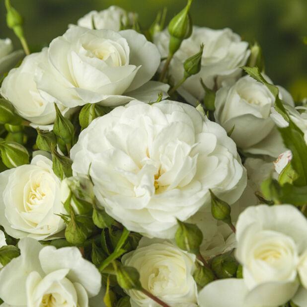 Valkoinen runkoruusu, Korkeus 60-80 cm, Valkoinen