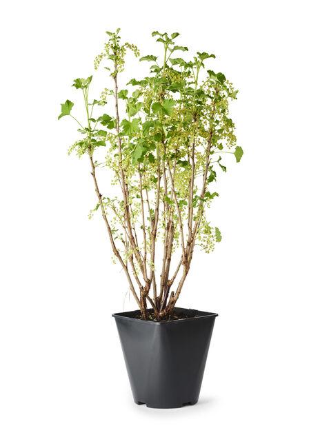 Valkoherukka 'Valkoinen Hollantilainen', Korkeus 35 cm, Vihreä