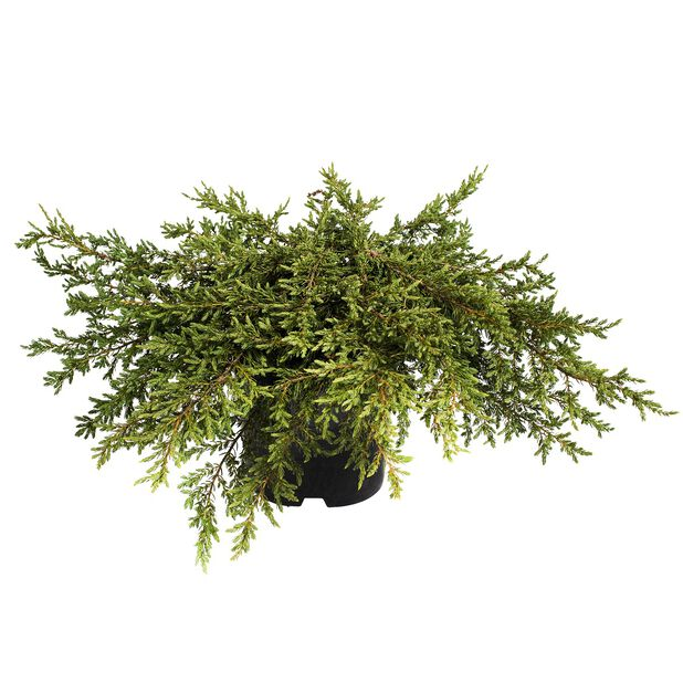 Kääpiökataja 'Green Carpet', Ø19 cm, Vihreä