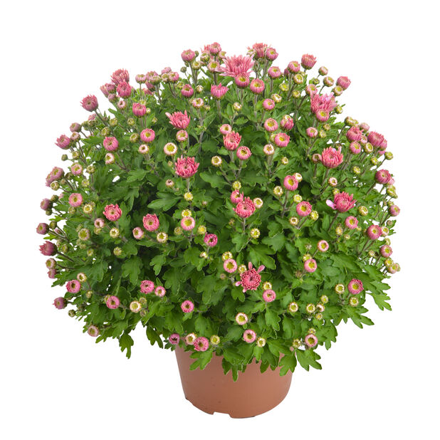 Pallokrysanteemi, Ø15 cm, Useita värejä