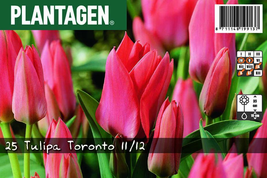 Raitatulppaani 'Toronto', Pinkki