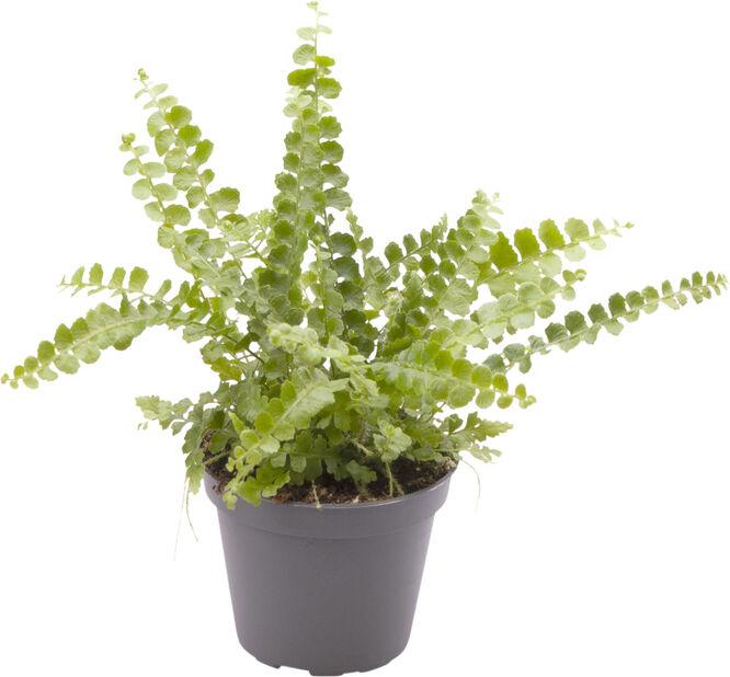 Minikokoinen kaarisulkasaniainen, Korkeus 10 cm, Vihreä