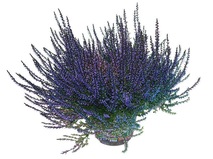 Aitokanerva värjätty, Ø12 cm, Sininen