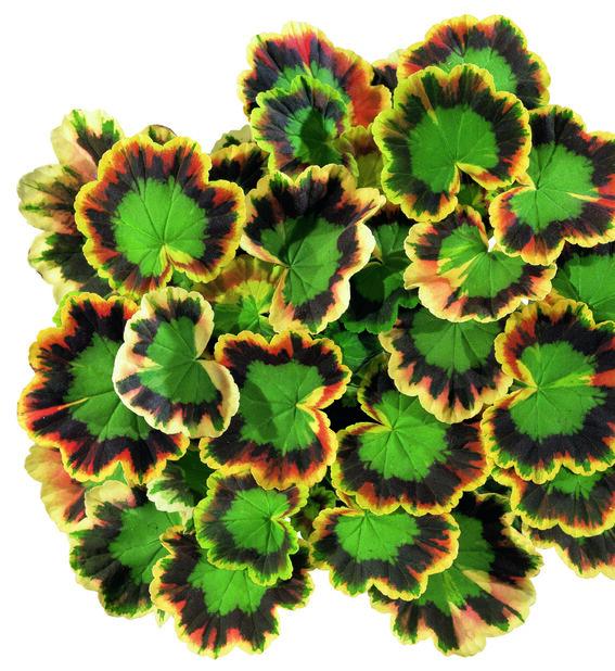 Pelargoni 'Mrs Pollock' 12 cm