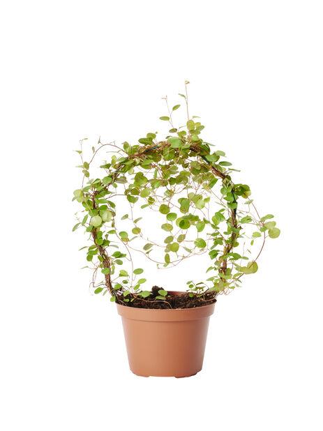 Lankaköynnös , Korkeus 35 cm, Vihreä