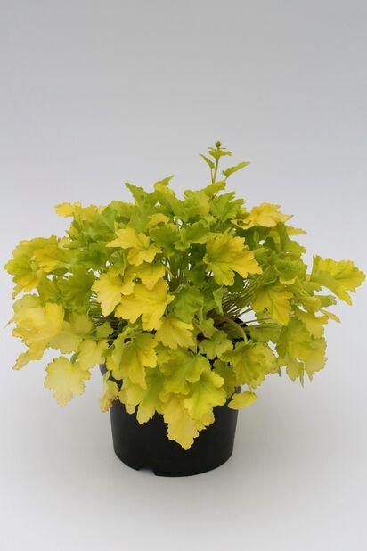 Keijunkukka 15 cm keltainen