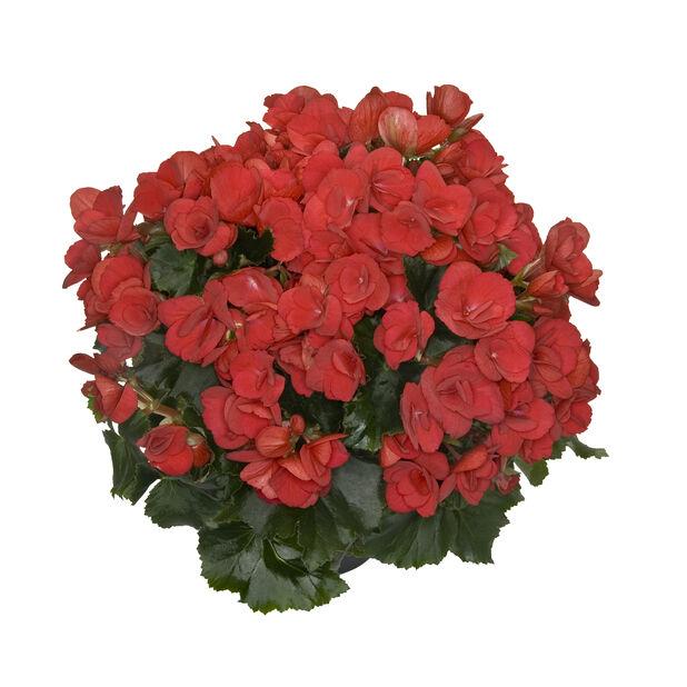 Begonia Betulia, Ø19 cm, Useita värejä