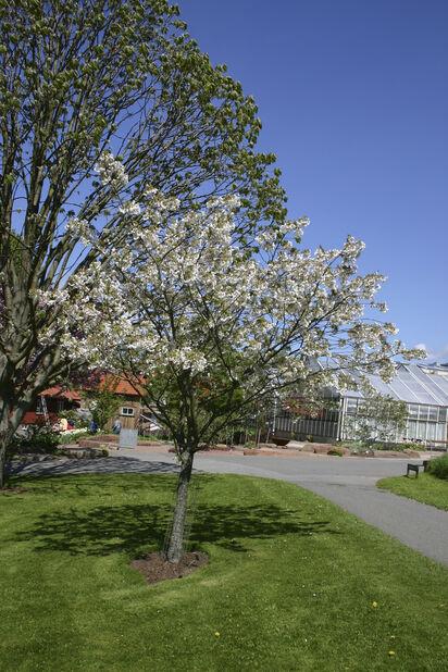 Pilvikirsikka, Korkeus 180 cm, Valkoinen