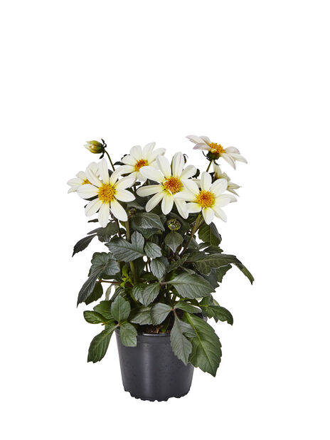 Dahlia 'Happy Days' White 14 cm
