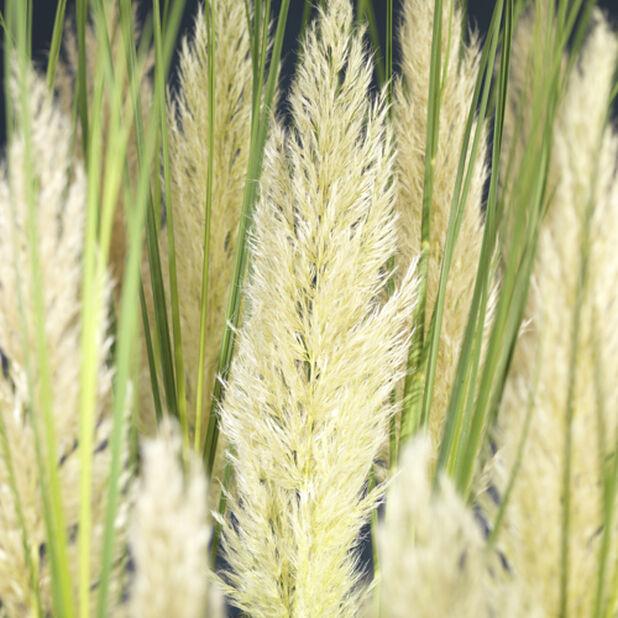 Pampaheinä 'Tiny Pampas', Korkeus 50 cm, Vihreä