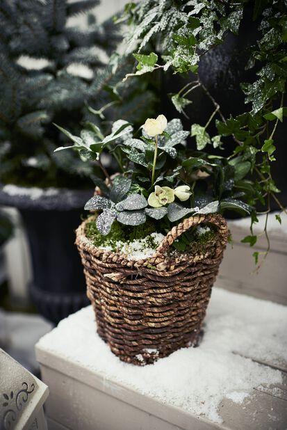 Jouluruusu, Ø15 cm, Valkoinen