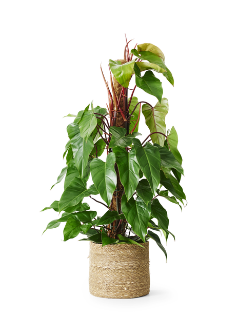 Philodendron Red Emerald 24cm