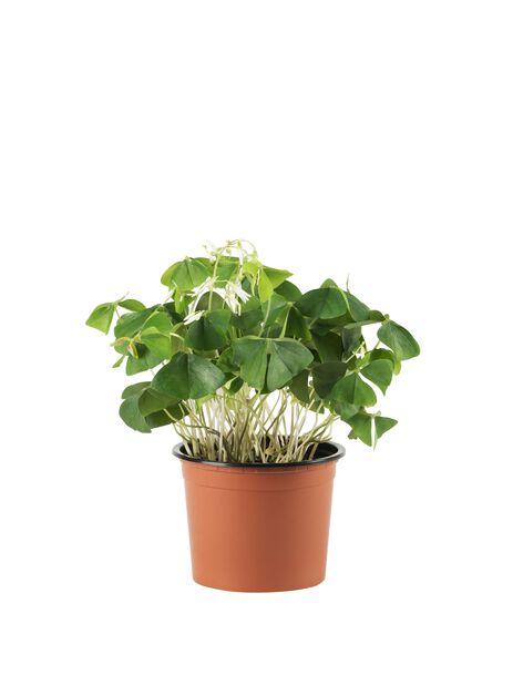 Valkokäenkaali, Korkeus 25 cm, Vihreä