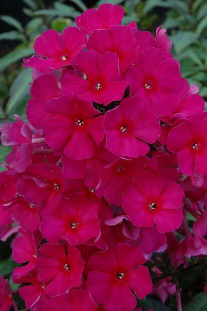 Syysleimu , Ø11 cm, Pinkki