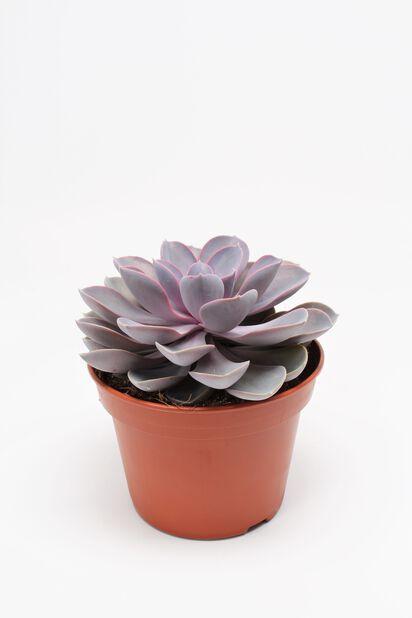 Mehiruusuke 'Purple pearl'