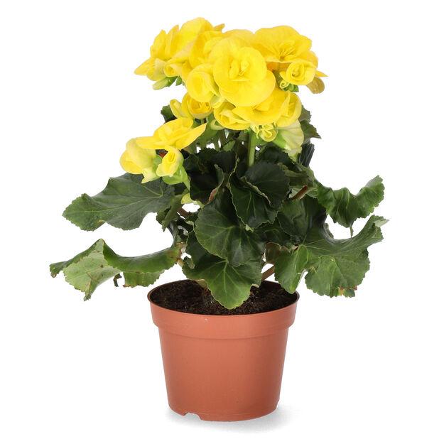 Begonia, Korkeus 25 cm, Keltainen