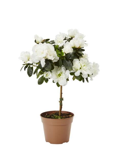 Atsalea rungollinen, Ø12 cm, Valkoinen