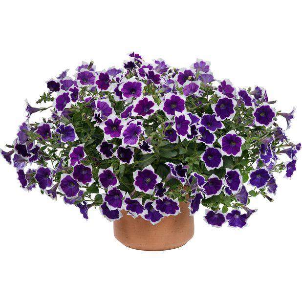 Petunia Aurora 'Violet Duo', Ø12 cm, Monivärinen