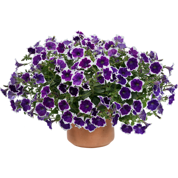 Petunia 'Aurora Violet Dua', Ø12 cm, Monivärinen