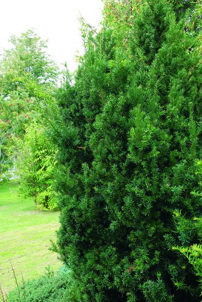 Kartiomarjakuusi 'Hillii', Korkeus 40 cm, Vihreä