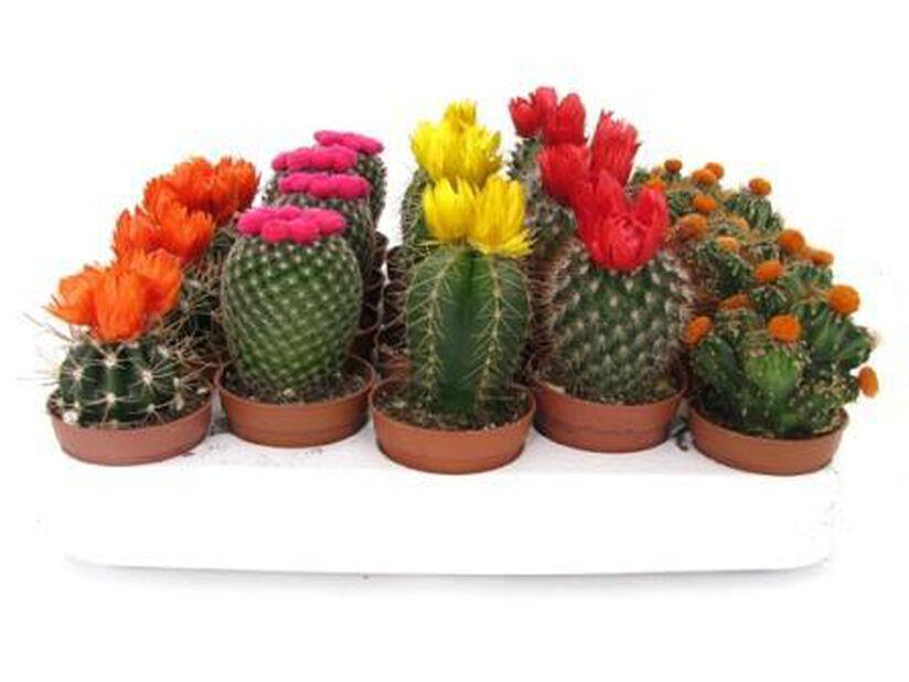 Kaktus mix 6 cm
