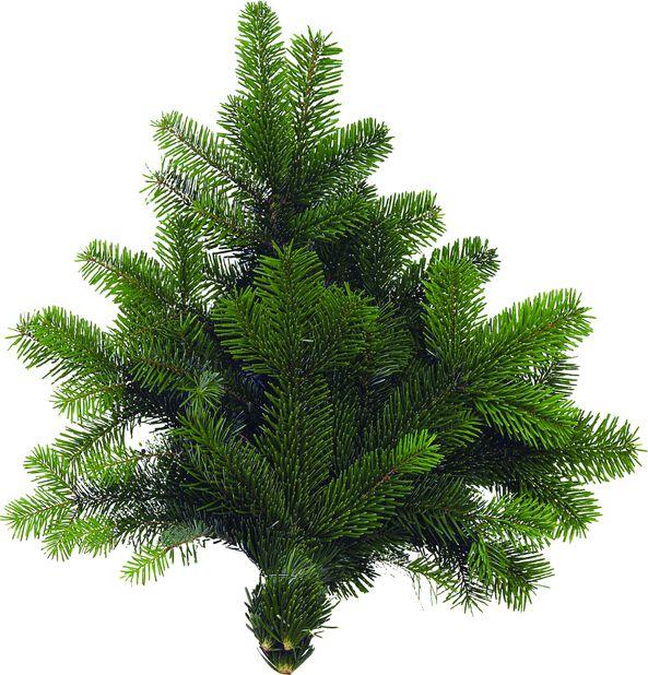 Havunippu kaukasianpihta, Korkeus 40 cm, Vihreä
