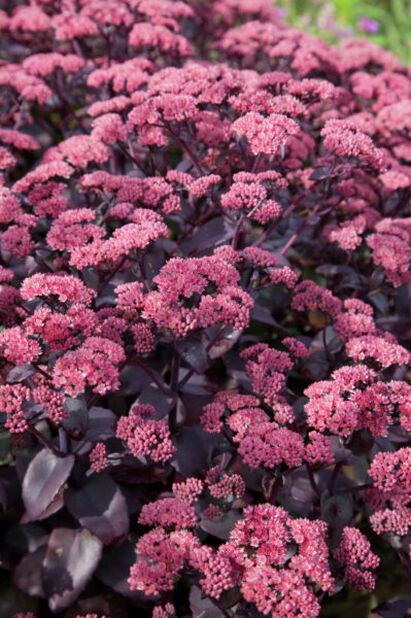 Maksaruoho , Ø11 cm, Pinkki