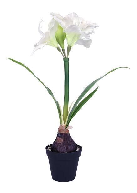 Tekoamaryllis, Korkeus 55 cm, Valkoinen