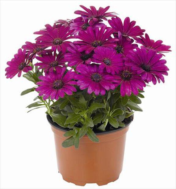 Tähtisilmä 19 cm violetti