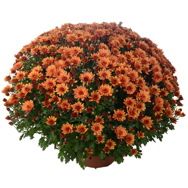Krysanteemi, Ø19 cm, Oranssi