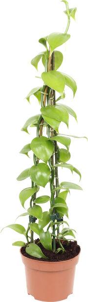 Vaniljaorkidea, Korkeus 45 cm, Vihreä