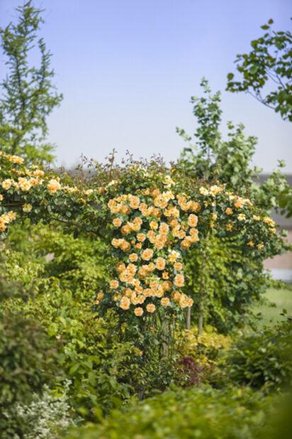 Ruusu kehikossa keltainen