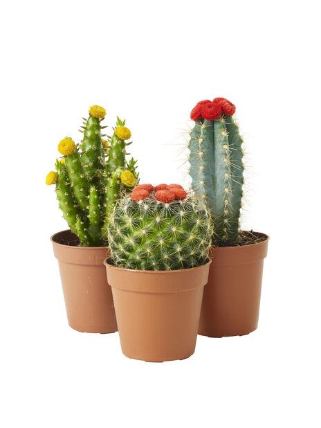 Kaktus mix, Korkeus 7 cm, Vihreä