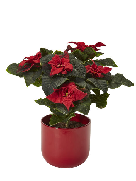 Joulutähti 'Winter Rose' 12 cm
