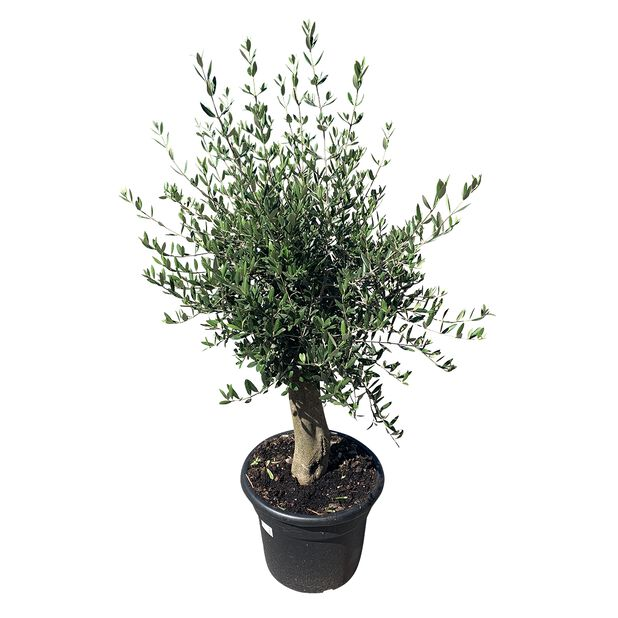 Oliivipuu, Korkeus 150-175 cm, Harmaa