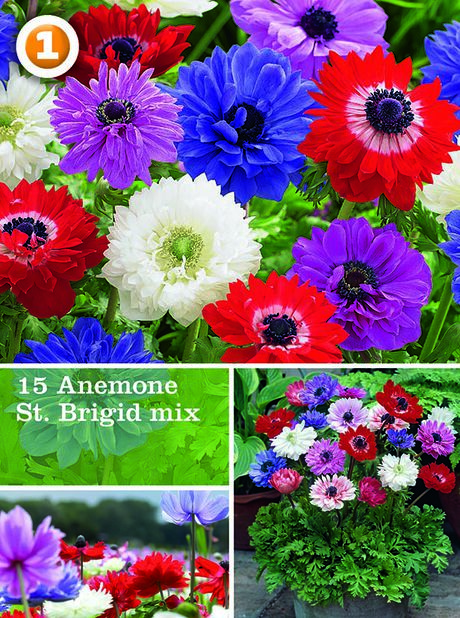 Anemone St. Brigid mix, Monivärinen