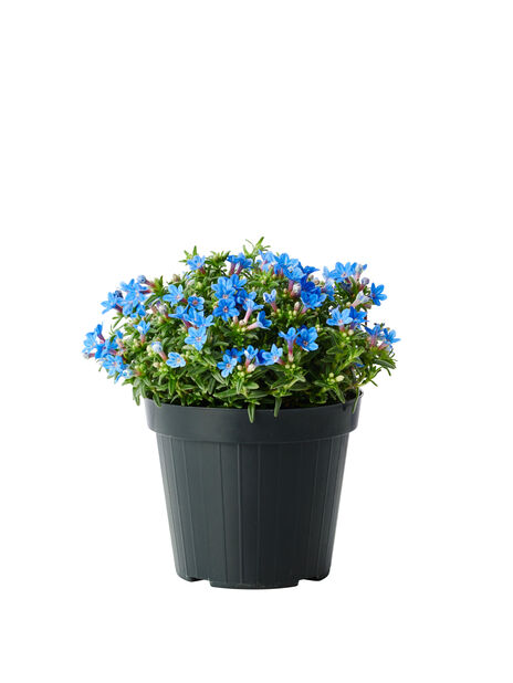 Sinilemmiö 'Heavenly Blue', Ø14 cm, Sininen