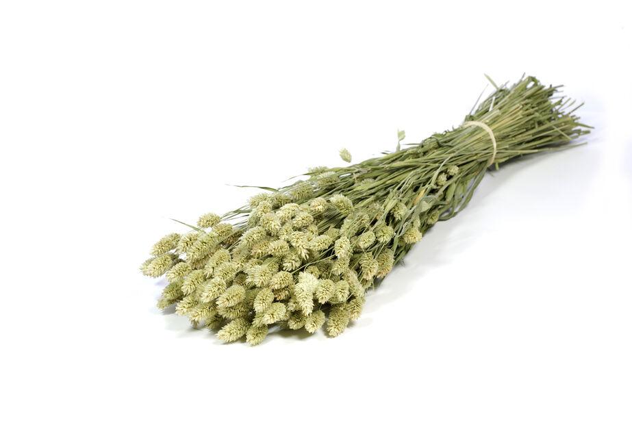 Ruokohelpi vihreä, Korkeus 50 cm, Ruskea