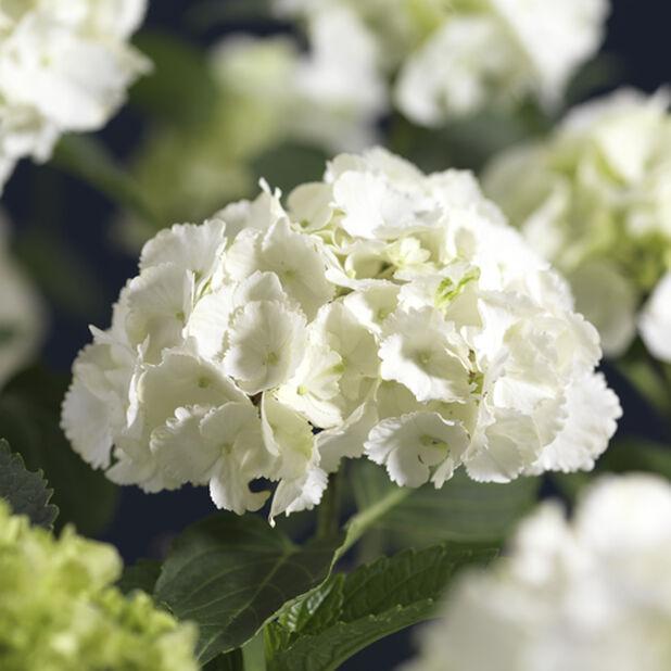 Puutarhahortensia 10 L valkoinen