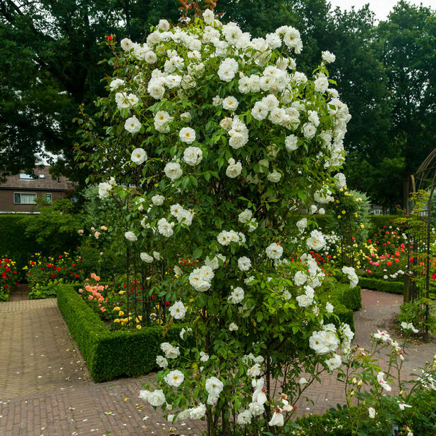 Tertturuusu 'Scneewittchen', Ø19 cm, Valkoinen