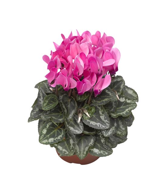 Syklaami, Ø10.5 cm, Pinkki