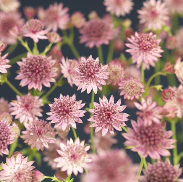 Tähtiputki, Korkeus 45 cm, Pinkki